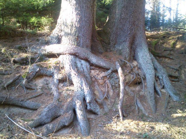 wald-wirkt- verfochtene Wurzeln