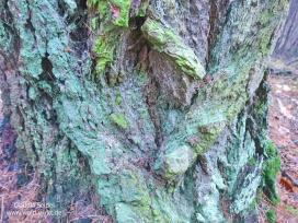 Wald wirkt! Bunte Lärchenborke_1